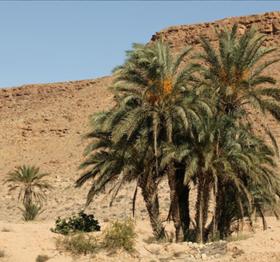 dates_degglet_nour_tunisie1